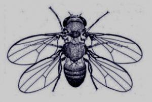 fourwingedfruitfly-ii